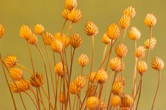Dried prickly plant Royalty Free Stock Images