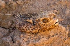Dried pufferfish on Egyptian beach Stock Photo