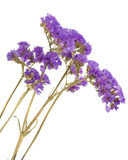 Dried purple flowers on the white. Royalty Free Stock Photos