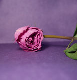 Dried purple rose. Rose  on purple background Royalty Free Stock Images