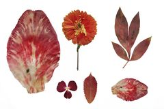 Dried red  flowers and herbarium. Dried red autumn flowers isolated on a white background Royalty Free Stock Image