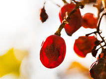 Dried red grape at vineyard Royalty Free Stock Photography