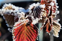 Dried red raspberry leaves covered in hoar frost Stock Image