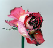 Dried red rose Royalty Free Stock Photography