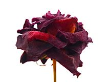 Dried red rose Stock Photos