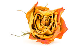 Dried red rose Stock Images