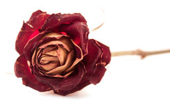 Dried red rose as a concept of aging Stock Image