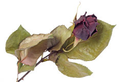 Dried red rose bud. Isolated on white Stock Images