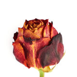 Dried red rose over the white isolated background Stock Image