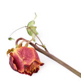 Dried red rose over the white isolated background Royalty Free Stock Image