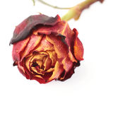 Dried red rose over the white isolated background Royalty Free Stock Photo