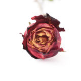 Dried red rose over the white isolated background Stock Images