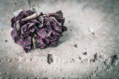 Dried red rose Royalty Free Stock Photo