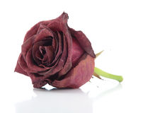 Dried red rose on white background Royalty Free Stock Photography