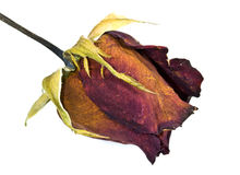 Dried red rose Royalty Free Stock Image