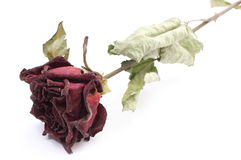Dried red rose on white background. Closeup of dried and faded red rose isolated on white background Stock Image
