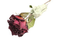 Dried red rose on white background Stock Photos