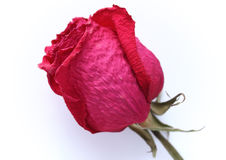 Dried red rose on the white background. Dry rose lying on the table Stock Photo