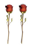 Dried red roses isolated on white Royalty Free Stock Photo