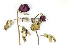 Dried Red roses Royalty Free Stock Images