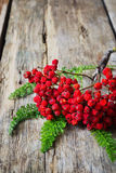 Dried red rowan branch Stock Photography