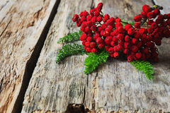 Dried red rowan branch Royalty Free Stock Image