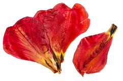 Dried red tulip petals close up. On white isolated Stock Photo