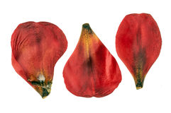 Dried red tulip petals Stock Photos