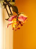 Dried red yellow roses on orange wall background Royalty Free Stock Images
