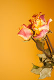 Dried red yellow roses on orange wall background Royalty Free Stock Photography