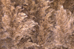 Dried reed background Royalty Free Stock Photography