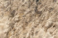Dried reed with selective focus and blurred areas royalty free stock images
