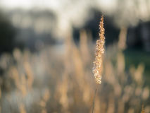 Dried reed - wetland plant closeup. Dried reed stem- wetland plant by the river. Closeup of one stem with blurred background stock photo