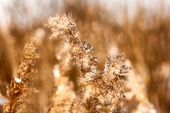 Dried reed in the winter Stock Photo