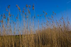 Dried Reeds Stock Photos