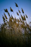 Dried Reeds. On edge of lake with blue sky in background Royalty Free Stock Images