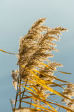 Dried reedy grass Royalty Free Stock Image
