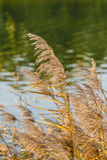 Dried reedy grass Stock Photos