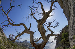 Dried relict pine on the seashore. Crimea. Royalty Free Stock Photos