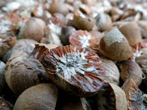 Dried Ripe Areca Nut Royalty Free Stock Photography