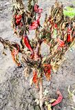 Dried ripe chili peppers on bush in garden royalty free stock image