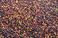 Dried Robusta coffee seeds produced in Thailand Royalty Free Stock Photo