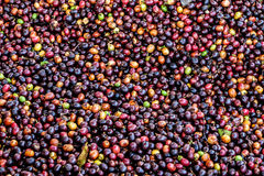 Dried Robusta coffee seeds produced in Thailand Stock Image