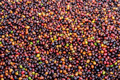 Dried Robusta coffee seeds produced in Thailand Stock Photo