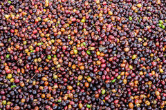 Dried Robusta coffee seeds produced in Thailand Royalty Free Stock Photos