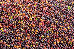 Dried Robusta coffee seeds produced in Thailand Royalty Free Stock Photography