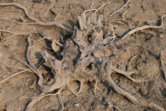 Dried root tree Stock Image