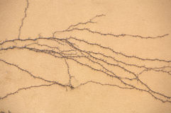 Dried roots Ivy. On yellow wall Royalty Free Stock Photography