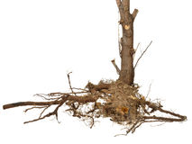 Dried roots and stem isolated Royalty Free Stock Image