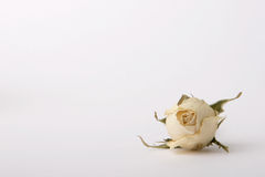 Dried Rose. See white dried rose from the front on white background. Enough space for your text Stock Photos